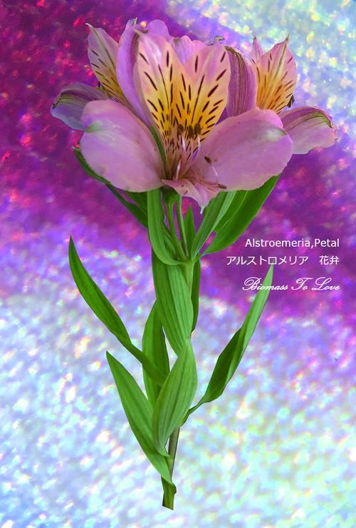 いきもの顕微鏡ポストカード アルストロメリア花弁