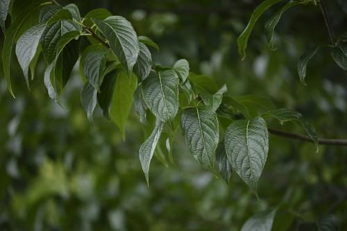 自家栽培杜仲茶