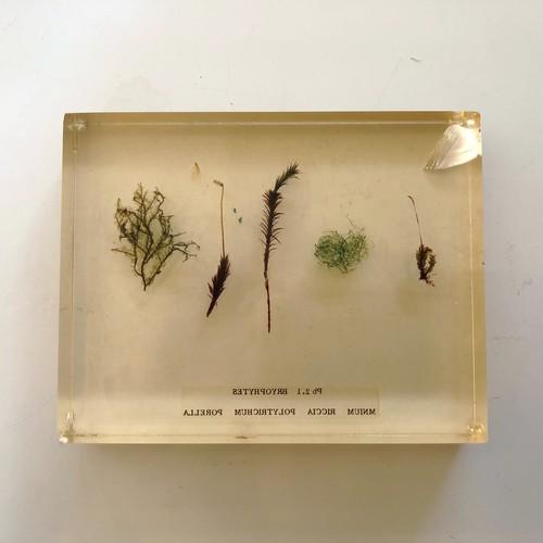苔の標本A