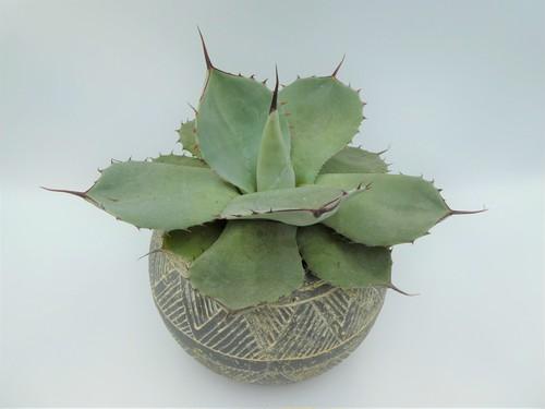 【現品】アガベ パリートランカータ 陶器鉢付き
