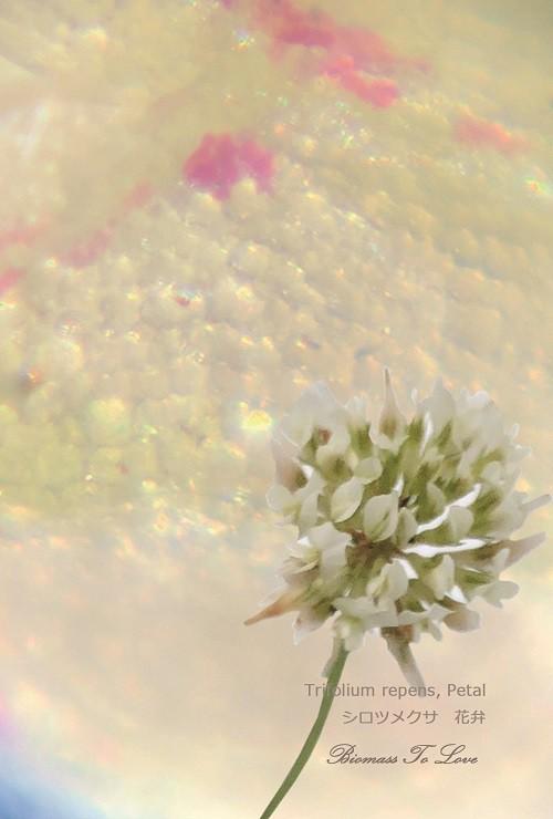 いきもの顕微鏡ポストカード シロツメクサ2