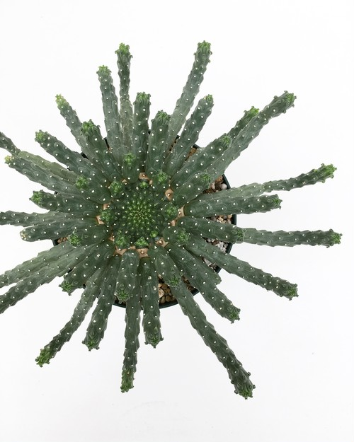 ユーフォルビア イネルミス Euphorbia inermis 20170808