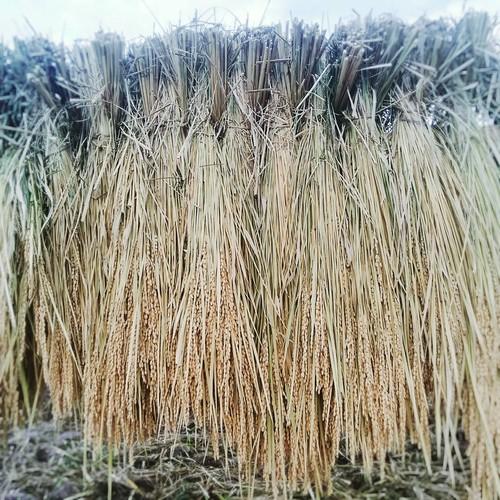 5kg玄米 こしひかり自然栽培はさがけ