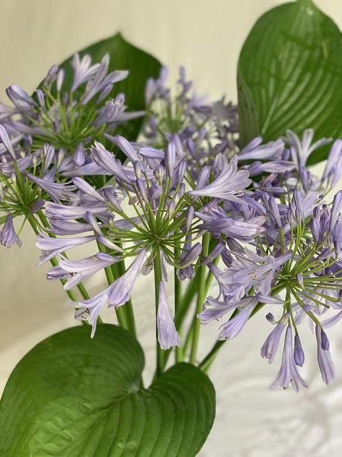 アガパンサスの切り花(生花)10本 +ギボウシ3本