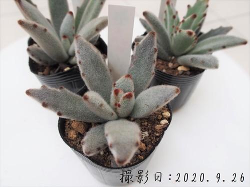 多肉植物 パンダウサギ(カランコエ属)いとうぐりーん 産直苗 2号