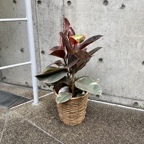 【送料無料】フィカス ベリーズ 7号鉢 ゴムの木 観葉植物 開店祝い 移転祝い 新築祝い おしゃれ インテリア 室内