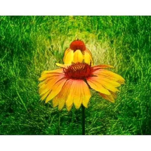 沖縄に咲く花・20・エキナセア A4