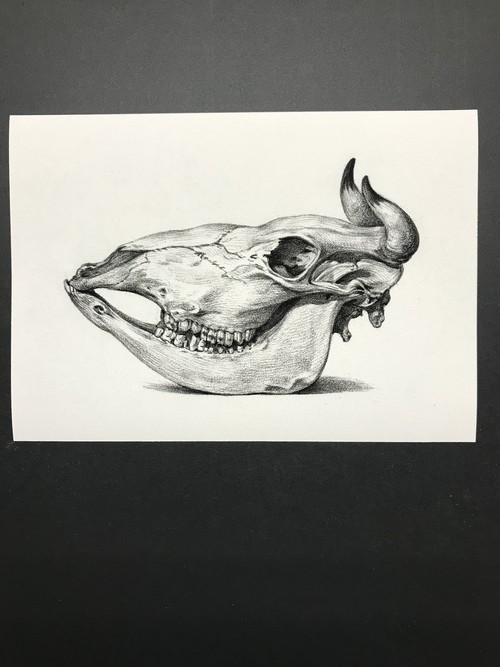 Skull of a cow by Jean Bernard レプリカ 横