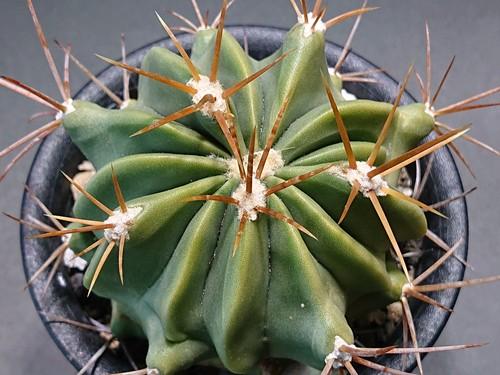 Ferocactus echidne フェロカクタス 竜虎