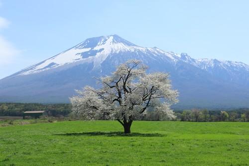 ポストカード 岩手県上坊牧野の一本桜