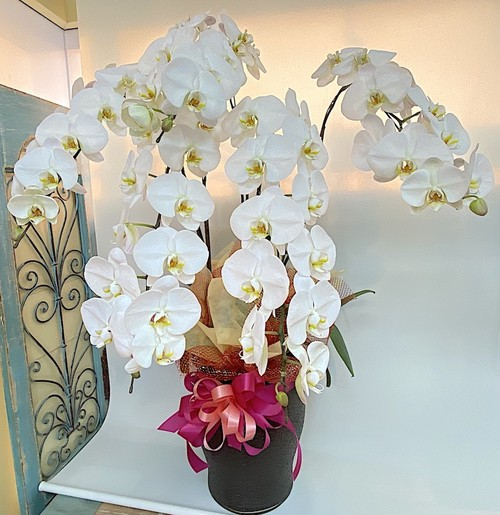 J0550) 白胡蝶蘭5本立ち3Lサイズ