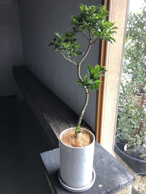 ガジュマル(鉢植え)ロングタイプ