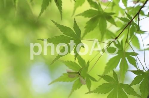 木漏れ日と新緑(無料)