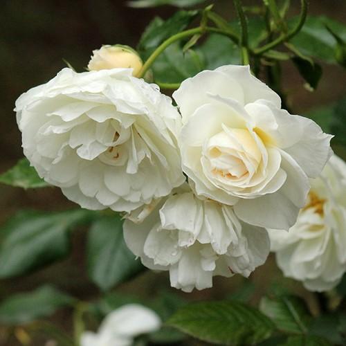 バラ裸苗【ご予約商品】 スノー・ストーム