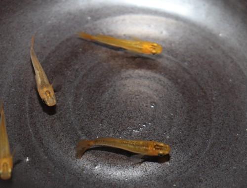 金鱗龍 1ペア