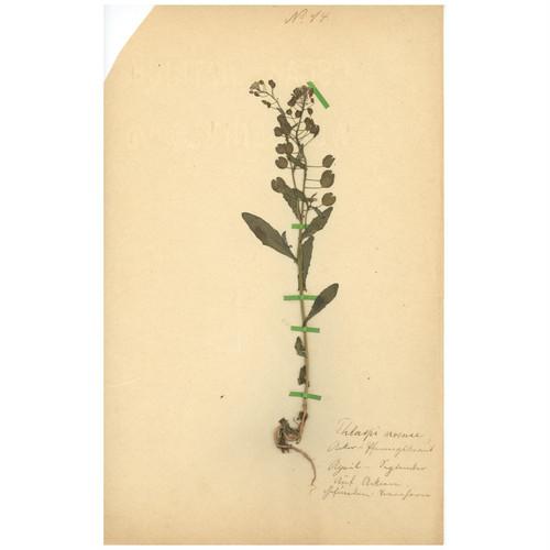ドイツの古い植物標本 057