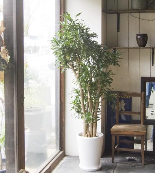 【23区内限定配送】ドラセナ・リフレクサ