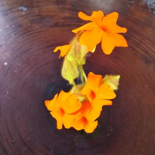 ツンベルギア・アラータオレンジ10.5cmポット苗