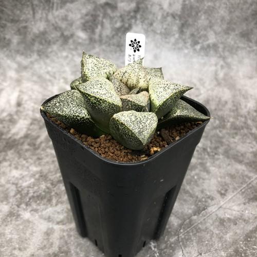 Haworthia ピクタ ホワイトグラスF2実生 ハオルチア