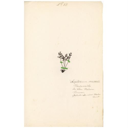 ドイツの古い植物標本 058