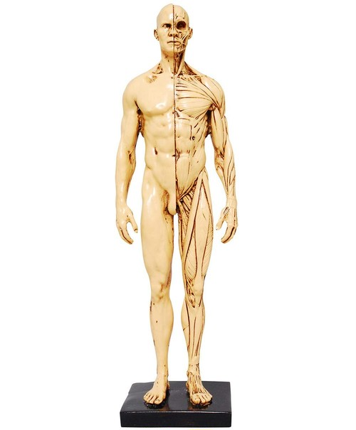 筋肉模型 デッサン人形 マッチョボディ 人体模型 塗装済み 高品質改造模型 30cm イエロー男性