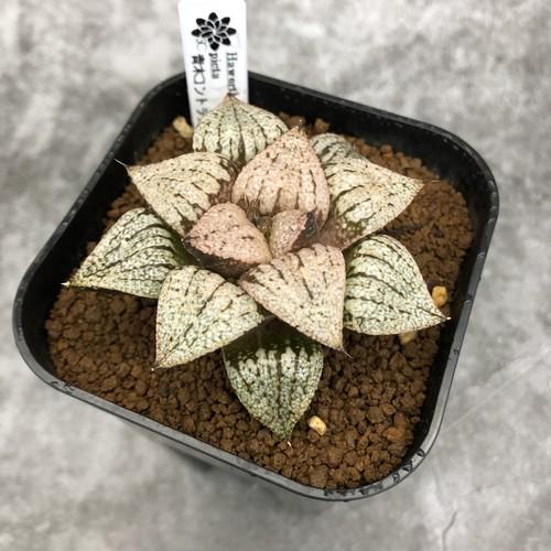 Haworthia ピクタ 青木コントラスト実生 ハオルチア