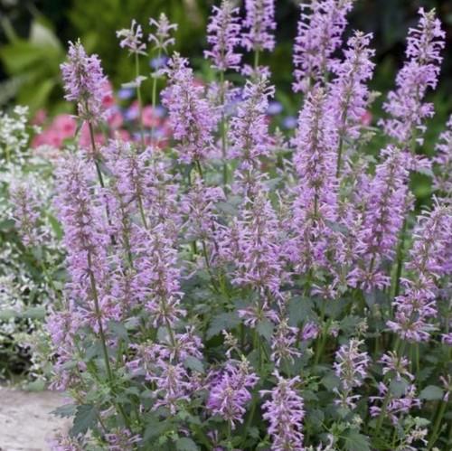 産直花の苗 アガスターシェ  ローズミント Agastache pallidiflora 'Rose Mint'