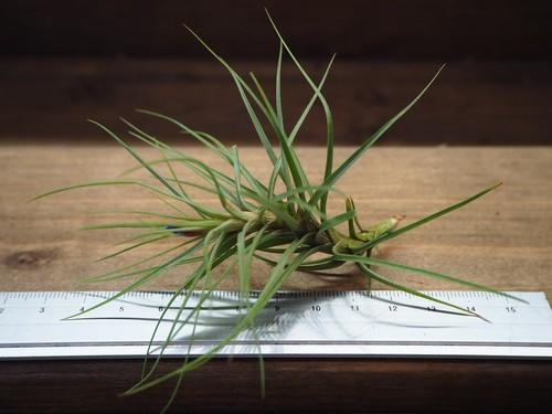 チランジア / テヌイフォリア ファインリーフ (T.tenuifolia 'Fine Leaf')