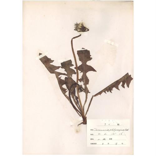 日本の古い植物標本 028