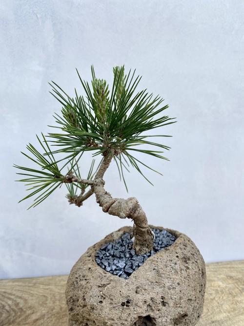 【送料無料】三河黒松 盆栽 一点物 軽石鉢 趣味 コレクション ルル盆