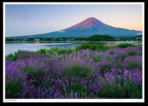 アート写真プリント A4サイズ 赤富士ラベンダー
