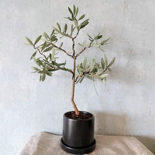オリーブ盆栽 シプレッシーノ  (PS60)