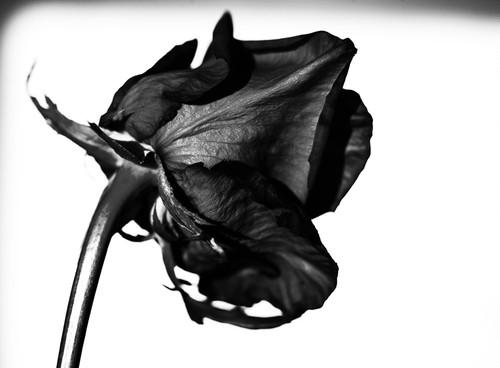 Rose Noir  #19