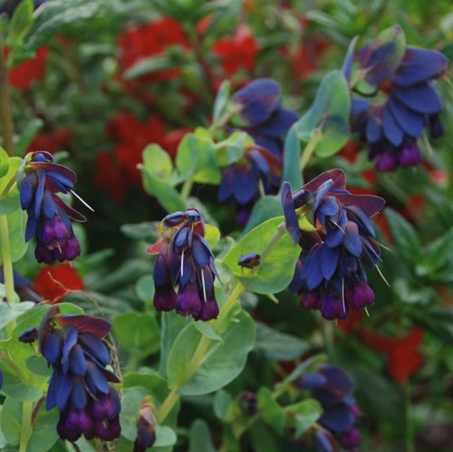 セリンセ マヨール Cerinthe major 'purpurascens'