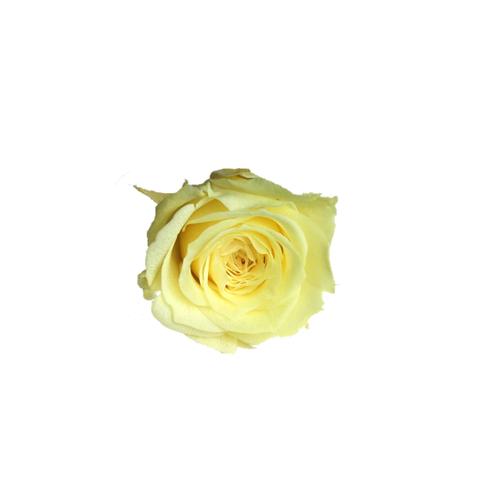 【5%OFF】プリザーブドローズ【1輪販売】   大地農園/ビビアン モーニングイエロー/0237-0-501