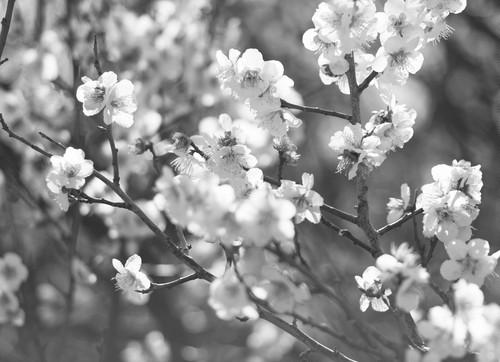 糸崎公朗『梅の花 P2180044』A4size
