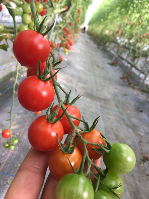 ミニトマト ラブリー 小袋 組み合わせ自由合計3袋以上から