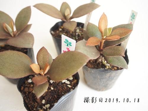 多肉植物 オルギアリス(カランコエ属)いとうぐりーん 2号