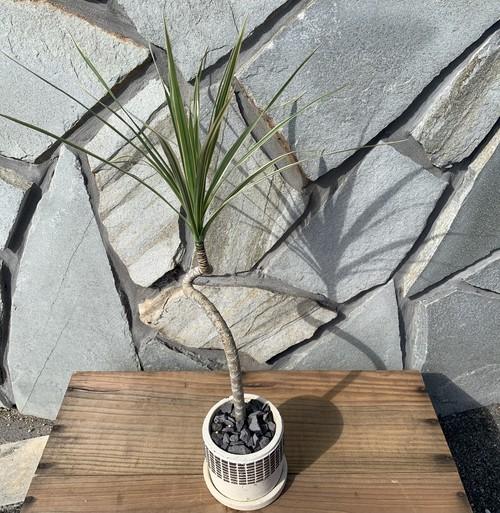 【送料無料】ドラセナ コンシンネ ホワイボリー 3.5号 曲がり 陶器鉢 個性的 デザイン インテリア