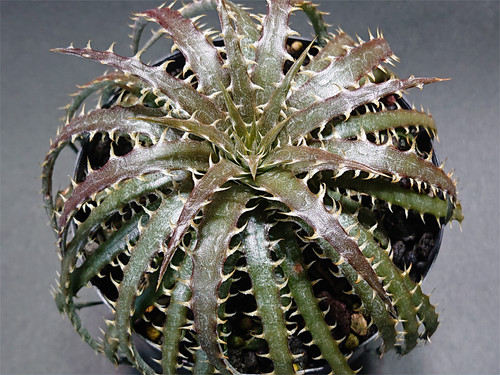 Dyckia 'Pink Panther' × dawsonii Seedling Select ディッキア ピンクパンサー × ダウソニー 実生 選抜 #02