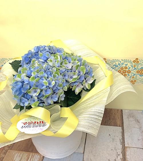 父の日 / 紫陽花 鉢ギフト