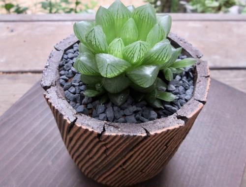 光オブツーサ ×信楽焼鉢