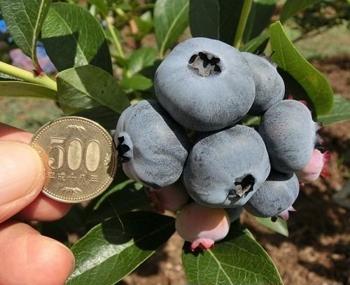 【夏季限定】門前おくでらブルーベリー園産超ビッグサイズ生食用ブルーベリー「チャンドラー」 100gパック6個入り