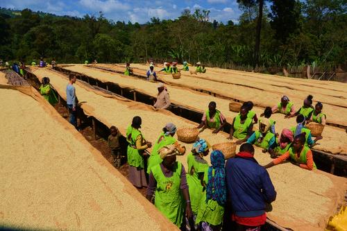 【コーヒー定期便 / 2週間毎全12回】エチオピア・イルガチェフェ1kg