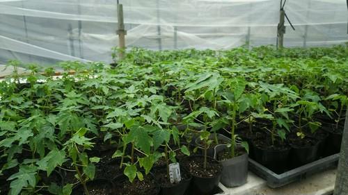 グリーンパパイヤ栽培用液体微生物資材(ルミナス):家庭菜園用500ml