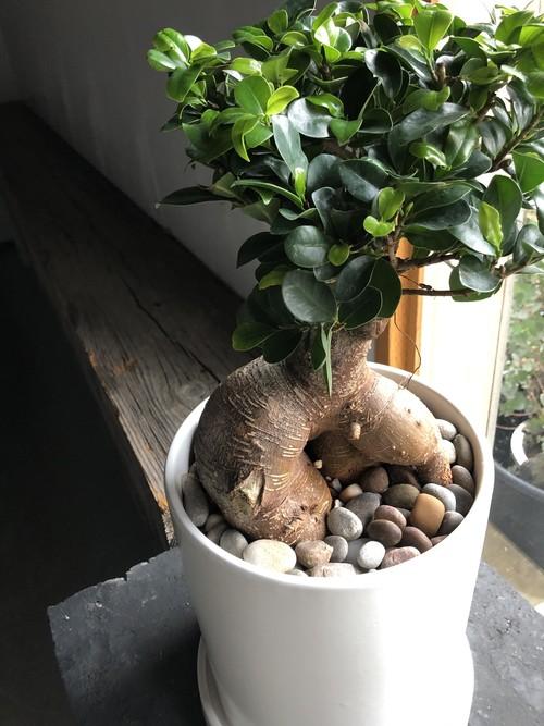 ガジュマル(鉢植え)Lサイズ