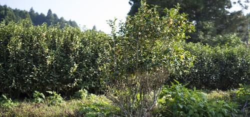 【定額制】茶の木オーナー