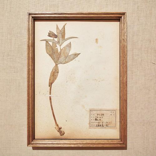 植物標本 1929 vintage 18MAR-VSH27