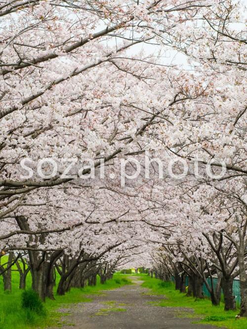 写真素材(桜-4026025)
