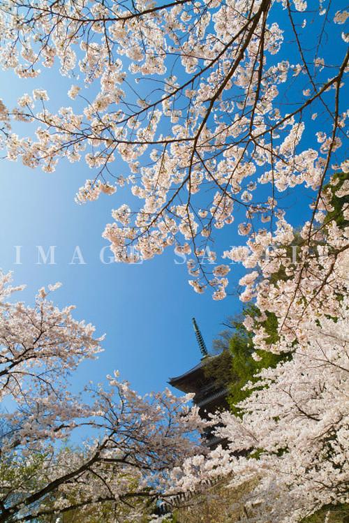 島根県安来市|清水寺と桜